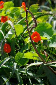 Aloeväxt omslingrad med parasiterande krasse.